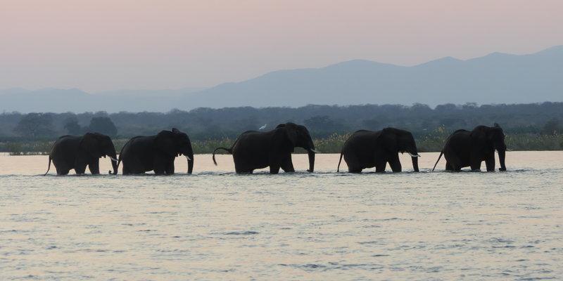 Elephants crossing the Zambezi River