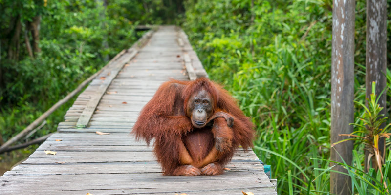 A female Bornean orangutan (Pongo pygmaeus) is sitting on a wooden jetty which leads into the rainforest of Borneo. Orang Utans are critically endangered, mostly because their habitat has decreased rapidly due to logging, forest fires and the conversion from tropical forests into palm oil plantations.